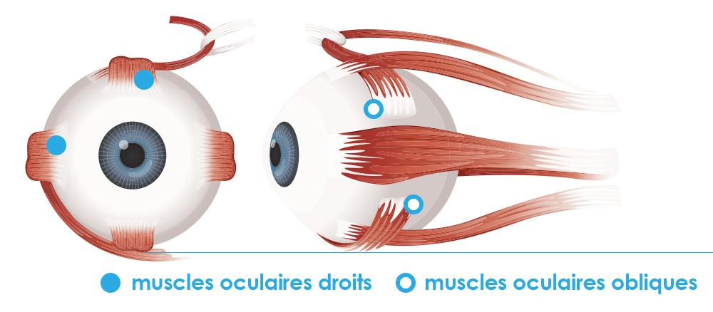 Muscles et mouvements de l'oeil